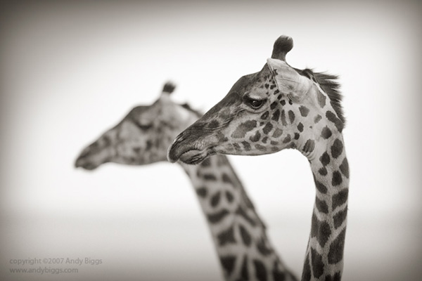 Black and white fine art photo of giraffes in Africa by Andy Biggs