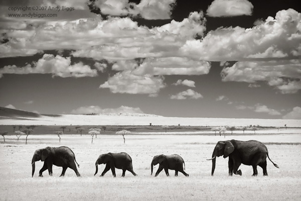 Black and white fine art photo of elephants in Africa by Andy Biggs
