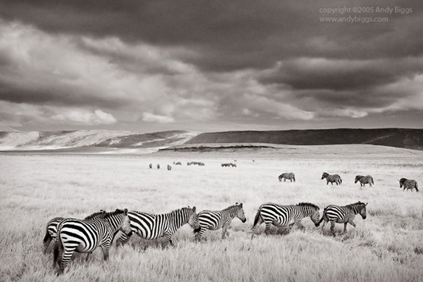 Black and white fine art photo of zebras in Africa by Andy Biggs